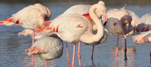 roze flamingos